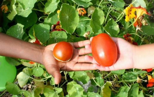 Sharing tomatoes
