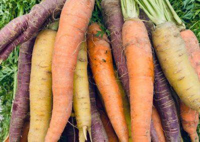 Rainbow Carrots Allen Farms